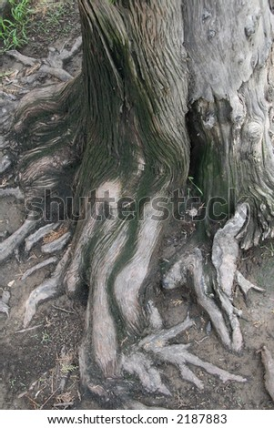 old growth cedar tree