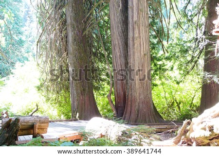 Old growth Western Redcedars ( Thuja plicata ) in the Grove of the Patriarchs, Mount Rainier National Park - stock photo
