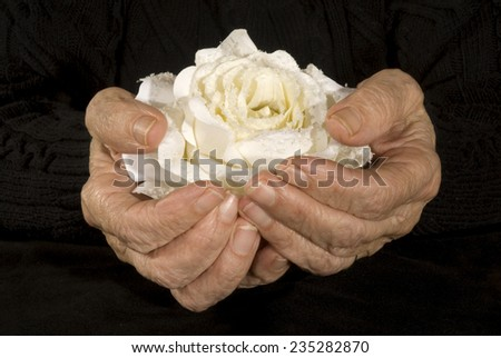 old hands holding white rose - stock photo