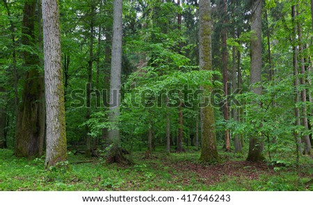 Old hornbeam and oak trees moss wrapped and old natural deciduous stand of Bialowieza Forest in background, Bialowieza Forest,Poland,Europe