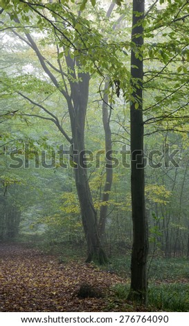 Old hornbeam tree over path in mist with dry leaves lying under,Bialowieza Forest,Poland,Europe - stock photo