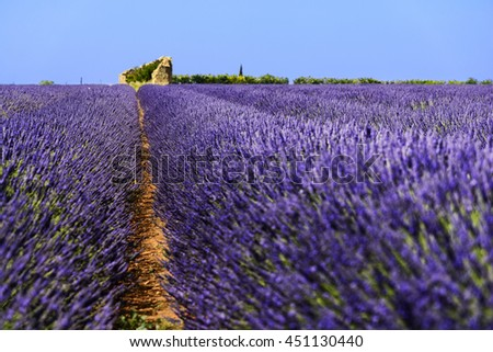 Old hut in lavender fields