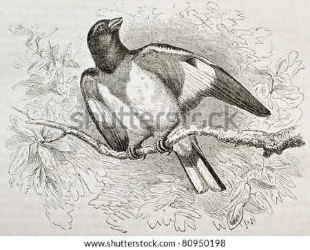 Old illustration of Rose-breasted Gorsbeak (Pheucticus ludoviciabus). Created by Kretschmer and Niedermann, published on Merveilles de la Nature, Bailliere et fils, Paris, 1878 - stock photo