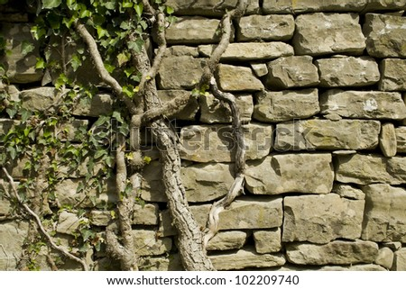 old ivy on the wall - stock photo