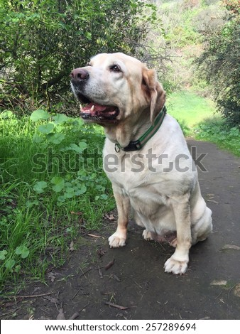 Old lab sitting on a trail.