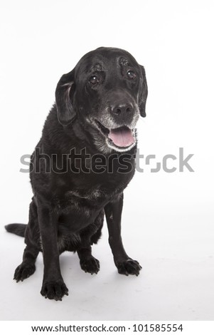 Old labrador retriever, studio isolated on white. - stock photo