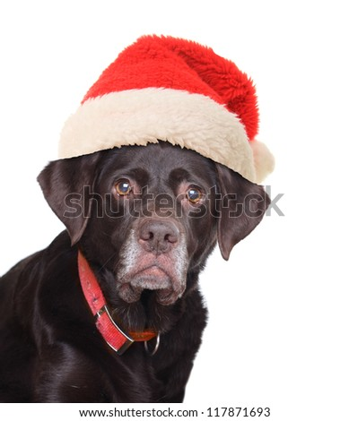 Old labrador retriever wearing a Santa hat.