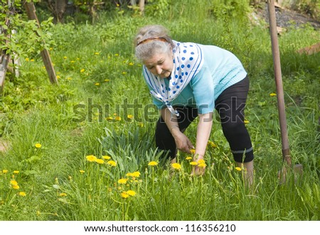 Old lady, European, working in garden in summer picking yellow dandelions.