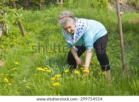 Old lady, European, working in garden in summer picking yellow dandelions. - stock photo