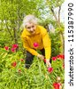 Old lady works in the garden near flowerbed with red tulips. - stock photo