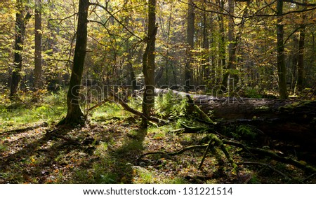 Old linden tree broken lying and sun above in autumnal landscape od deciduous stand - stock photo