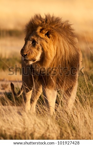 Old lion injured - stock photo