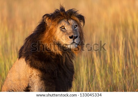 Old Lion Notch enjoys the first rays of sunlight in Masai Mara, he is 13 years old and the oldest Lion in Masai Mara - stock photo