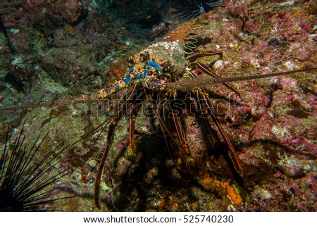 Old Lobster in Cocos Island Costa Rica