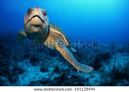 Old loggerhead turtle swimming over the coral reef - Akumal, Riviera Maya - Mexico - stock photo