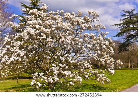 Old magnolia tree in a woodland. - stock photo