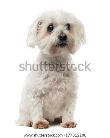 Old Maltese dog with cataract, sitting, looking away, 15 years old, isolated on white