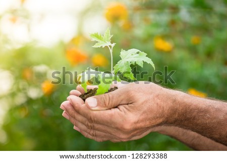 Old man hands holding young maple tree against spring green background. Ecology concept - stock photo