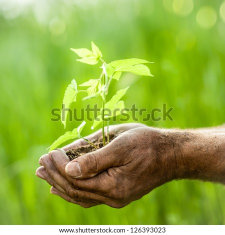 Old man hands holding young plant against spring green background. Ecology concept