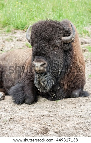 Old man of the herd. - stock photo