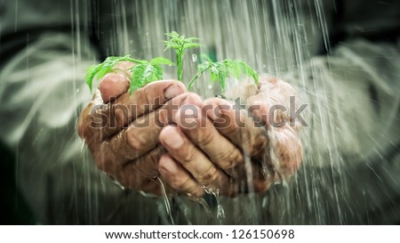 Old man`s hands holding young plant in the rain. Ecology concept - stock photo