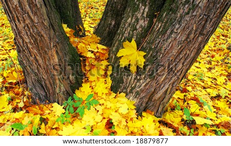 Old maples covered the earth beautiful golden carpet of leaves falling. - stock photo