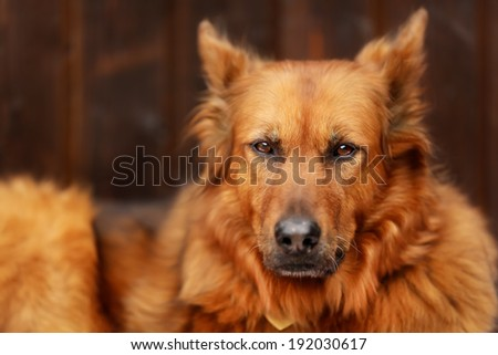 Old mixed-bred dog lying outside and looking at camera.