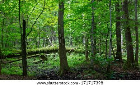 Old moss wrapped oak tree lying and old natural deciduous stand of Bialowieza Forest - stock photo