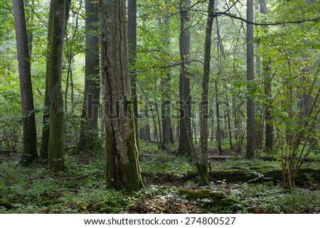 Old natural deciduous stand of Bialowieza Forest in morning with group of old trees,Bialowieza Forest,Poland,Europe