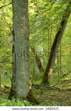 Old natural forest in the early september, Europe,Poland,Bialowieza Forest - stock photo