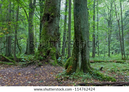 Old natural stand with old trees in early fall,Bialowieza Forest,Europe - stock photo
