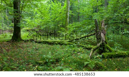 Old natural stand with old trees in fall with broken hornbeam tree partly declined, Bialowieza Forest, Poland, Europe