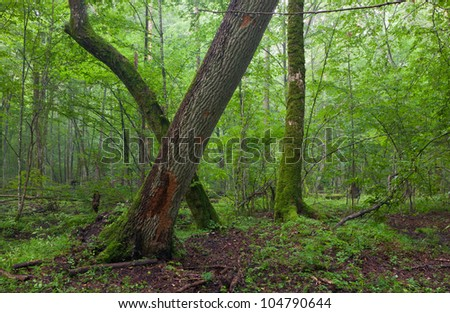 Old oak and hornbeam in natural late summer forest against juvenile stand - stock photo
