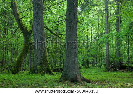 Old oak and hornbeam in natural springtime deciduous stand,Bialowieza Forest,Poland,Europe