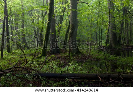 Old oak and hornbeams in natural late summer deciduous stand of Bialowieza Forest,Bialowieza forest,Poland,Europe - stock photo