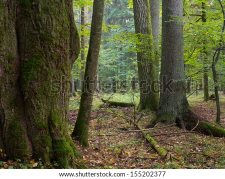 Old oak moss wrapped trees and spruce in shady rich deciduous stand of Bialowieza Forest in summer evening light