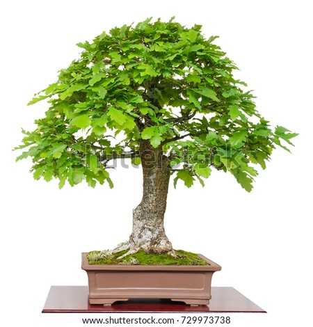 Old oak (Quercus robur) as green bonsai tree white isolated