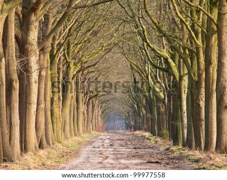 Old oak tree alley in early spring on a sunny day - stock photo