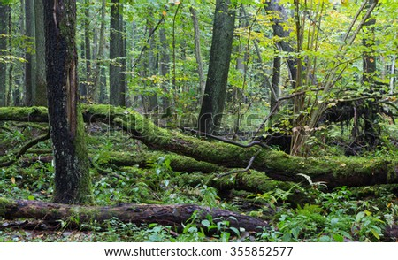 Old oak tree and water around in fall forest with a lot decline wood,Bialowieza Forest,Poland,Europe