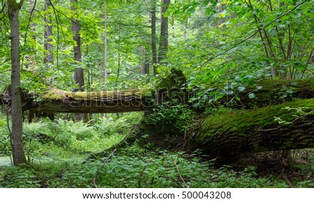 Old oak tree broken lying and old natural deciduous stand in background,Bialowieza Forest,poland,Europe