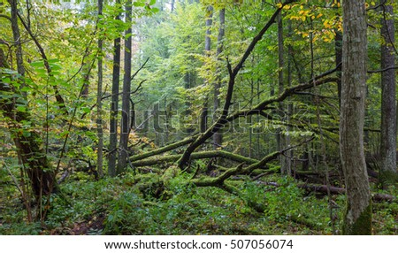 Old oak tree broken lying in autumnal landscape of deciduous stand, Bialowieza Forest, Poland, Europe