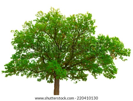 Old oak tree crown isolated on white background - stock photo