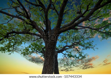 Old oak tree in the background of the sunset sky - stock photo