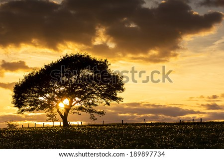 Old oak tree on a hill with dandelion meadow on sunset with cloudy Sky in spring - stock photo