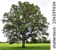 Old Oak Tree Standing in a Green Field - stock photo