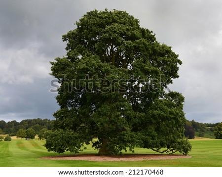 Old Oak Tree Standing in a Green Field - stock photo