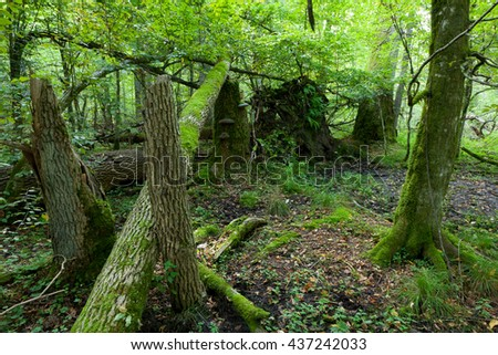 Old oak trees broken lying and sun above in autumnal landscape of deciduous stand,Bialowieza Forest, Poland, Europe