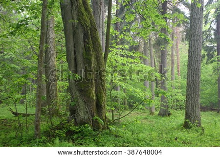 Old oaks in summer misty deciduous stand of Biaowieza Forest with old linden tree in foreground,Bialowieza Forest,Poland,Europe - stock photo
