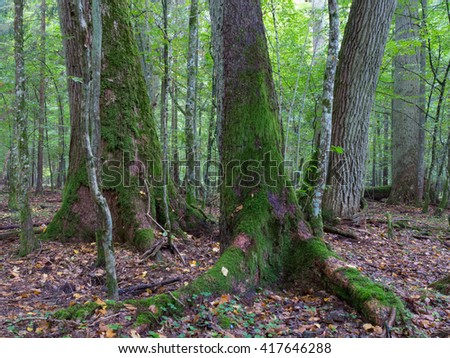 Old oaks moss wrapped in fall among juvenile stand of Bialoweza Forest,Bialowieza Forest,Poland,Europe - stock photo