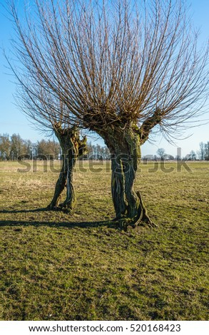 Old oddly shaped willow trees with textured bark in a Dutch landscape on a sunny day at the end of the winter season.